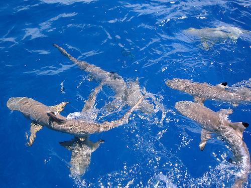Feed the Sharks in Bora Bora