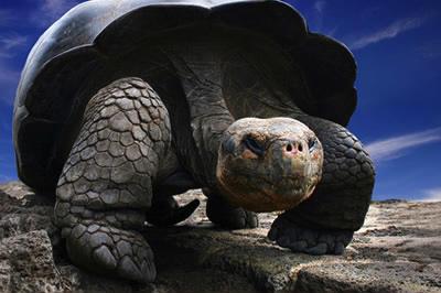 The Galapagos Tortoise